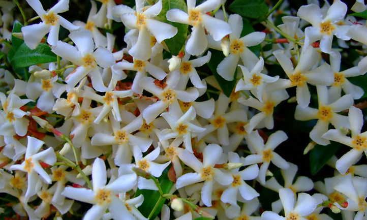 Star jasmine: A aromatic and highly effective mountain climber