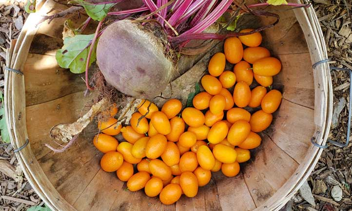 Kumquat Tree Care: Find out how to Develop Kumquats