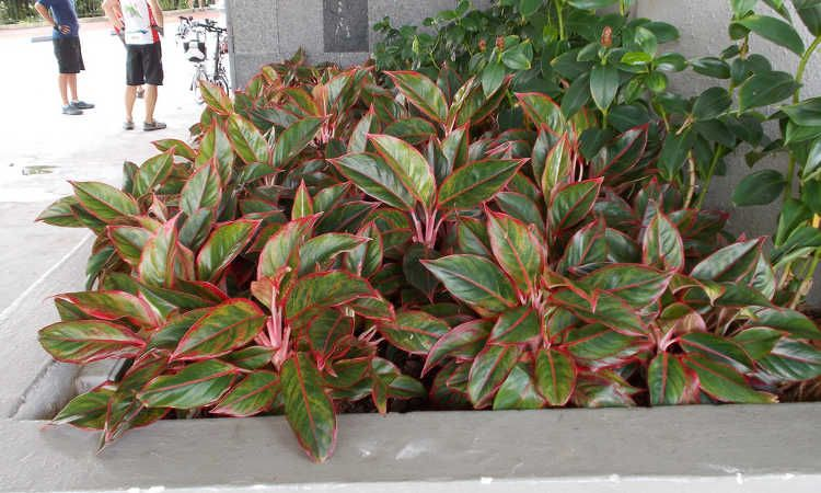 10 styles of Aglaonema to be careful for