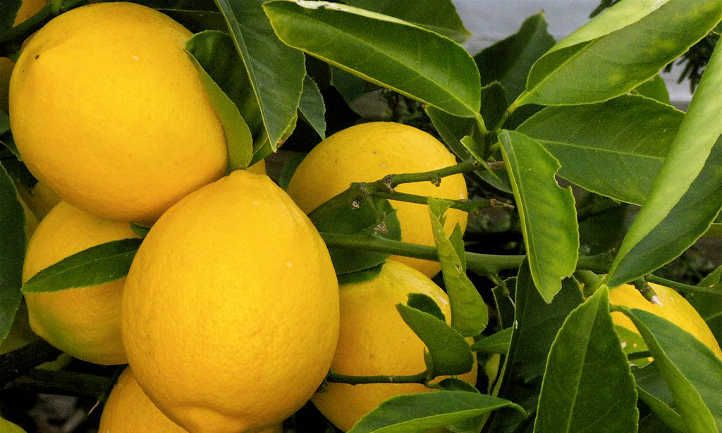 Meyer Lemon Tree Care: It's sweeter than you suppose!