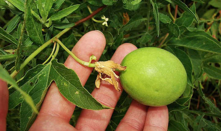 Ardour fruit vine: the candy reward of rising nature