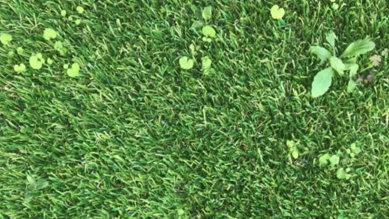 Can weeds develop via synthetic turf?