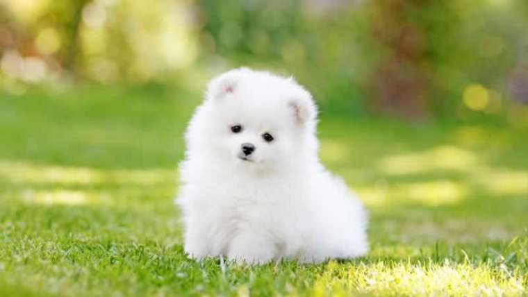 four information about teacup puppies all canine lovers ought to know