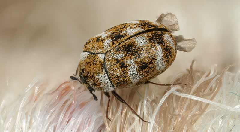 The best way to do away with carpet beetles