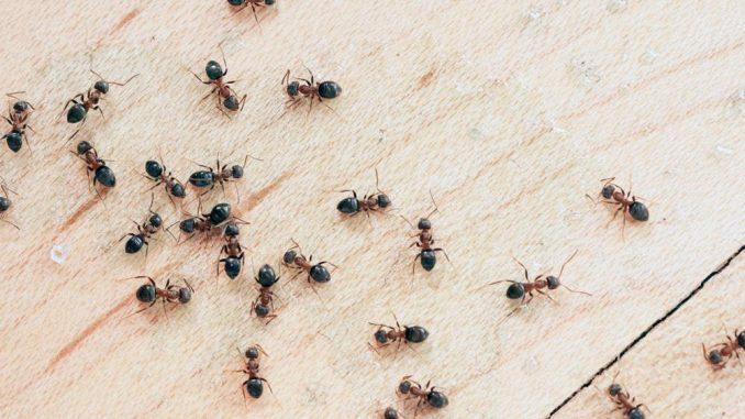 The commonest pests in Las Vegas