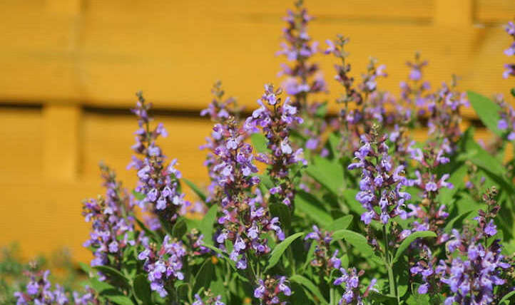 Learn how to develop sage for cooking