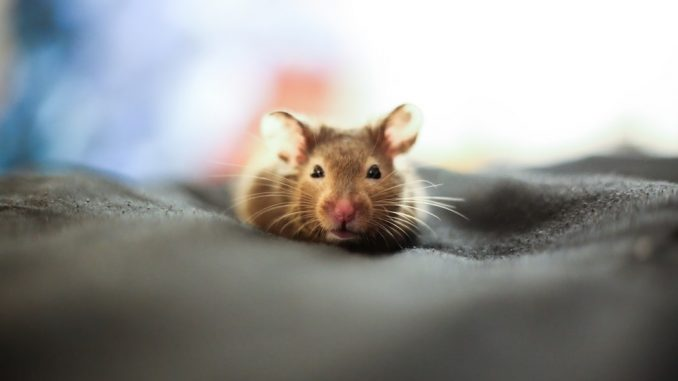 three humane methods to do away with mice and rats