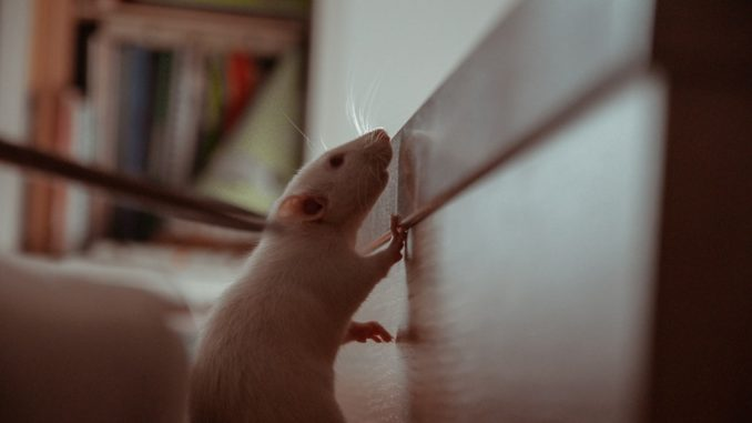 What's the easiest way to cope with mice in your house?