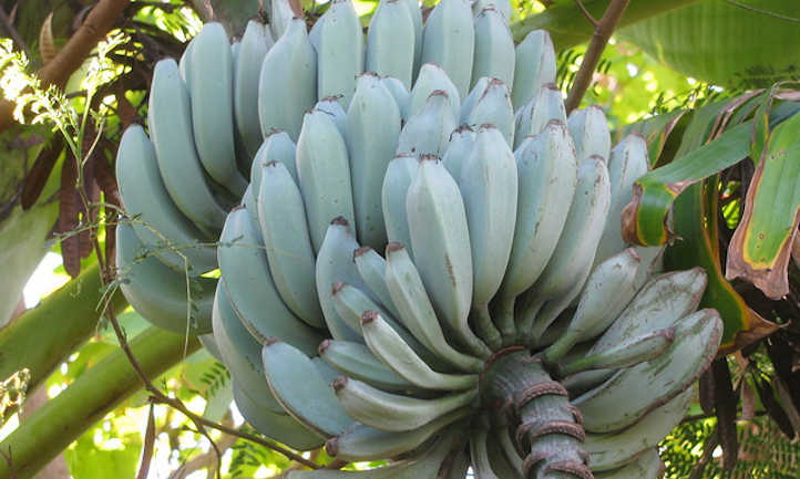 Blue Java Banana: The Ice Cream Banana Plant