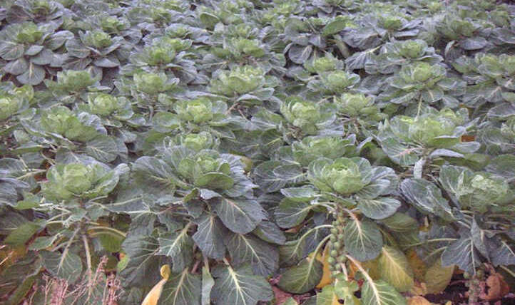 Rising Brussels Sprouts: They're Nutritious and Scrumptious!