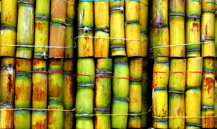 The best way to develop sugar cane for a candy deal with