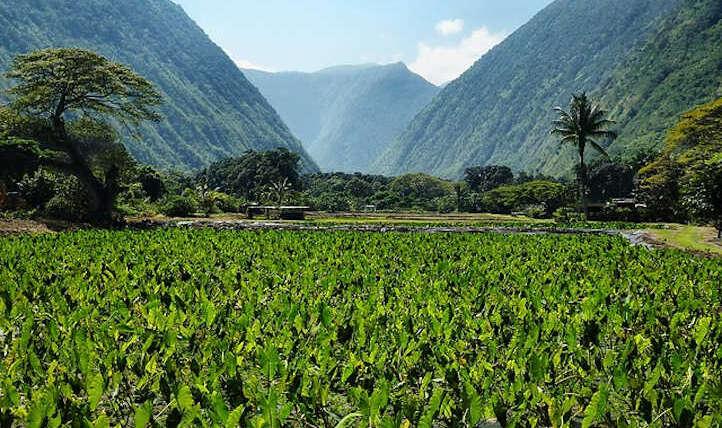 Taro Plant: Develop Your Personal Yard Poi