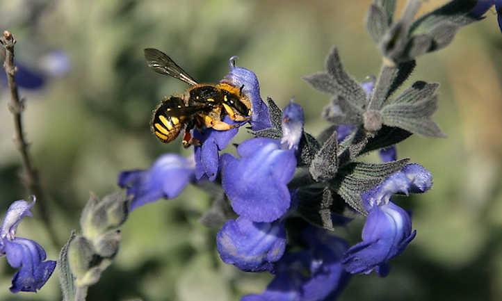 Salvia Chamaedryoides: Methods to Develop German Sage