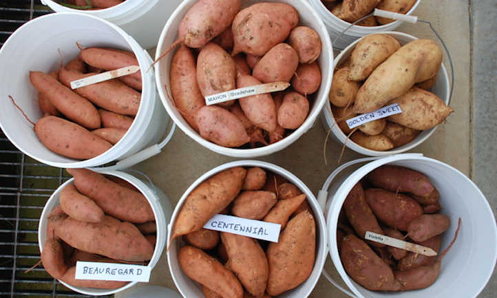20 varieties of candy potato you'll like to develop