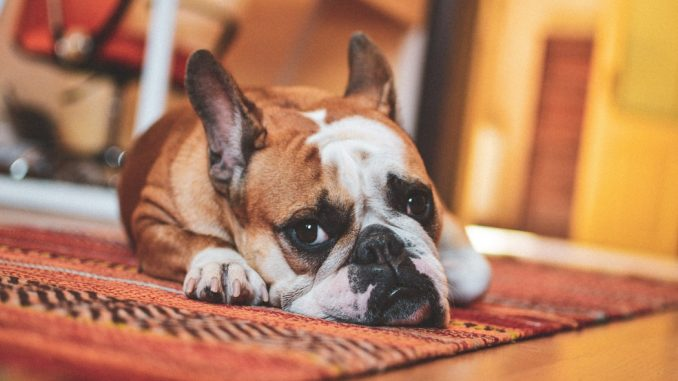 Easy methods to successfully take away pet stains out of your carpet