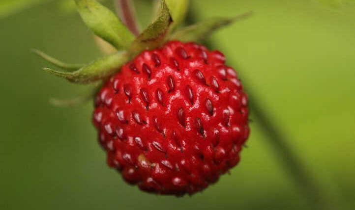 Rising alpine strawberries all summer season lengthy