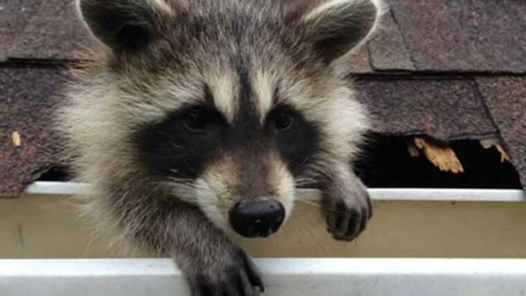 Easy methods to take away raccoons out of your attic with one-way doorways