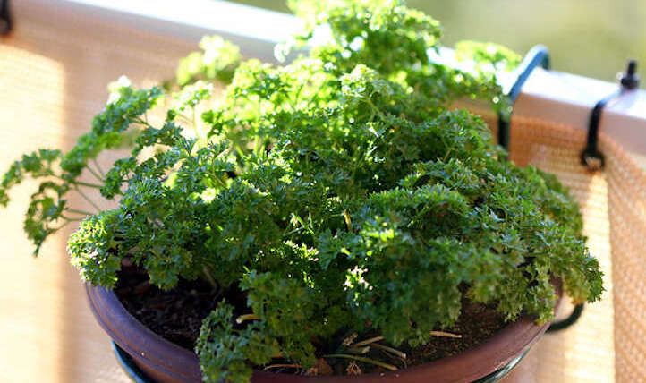 Tips on how to harvest parsley and hold it for later