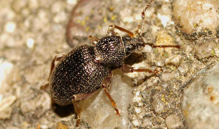 Issues with strawberry root beetles: shield your berries