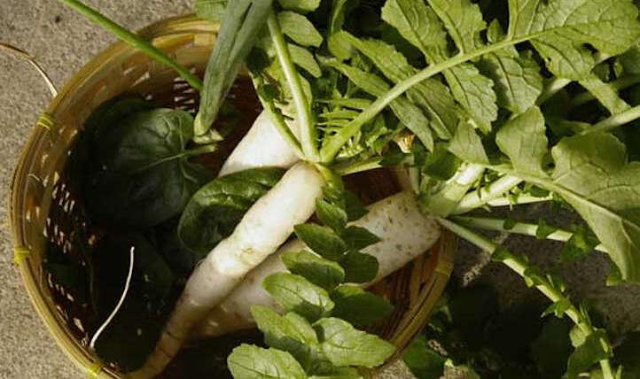 Rising daikon radish: Large and mildly flavored