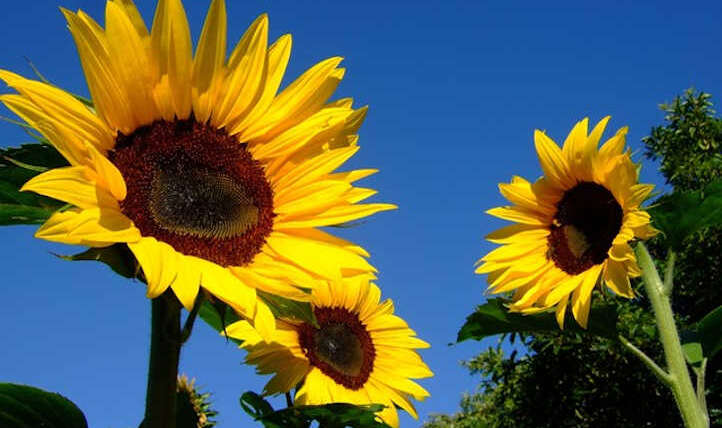 Rising sunflowers: completely satisfied gigantic flowers