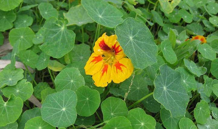 Rising nasturtiums for a vigorous backyard