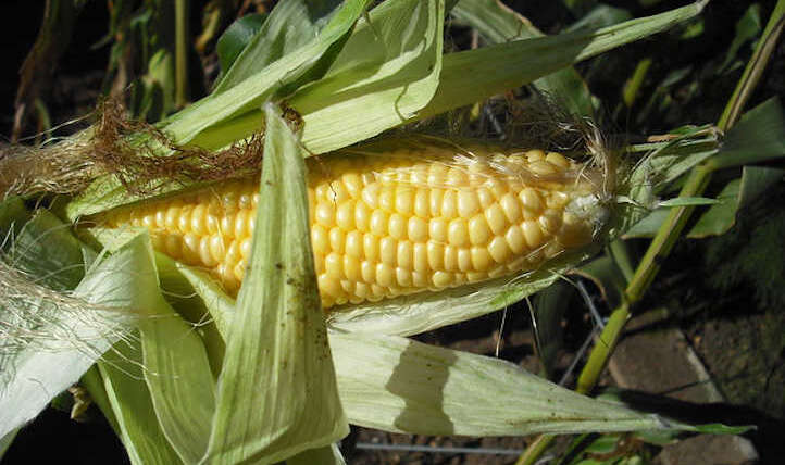 When to reap corn for excellent ears
