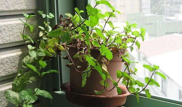 Rising Mint Indoor: A recent, minty basis