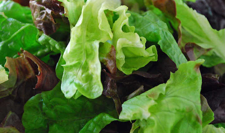Easy methods to harvest every kind of lettuce