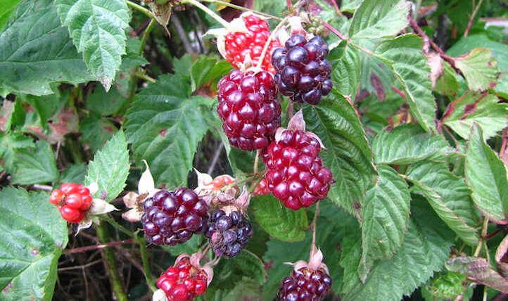 Boysenberry Vegetation: Considerable giant purple berries