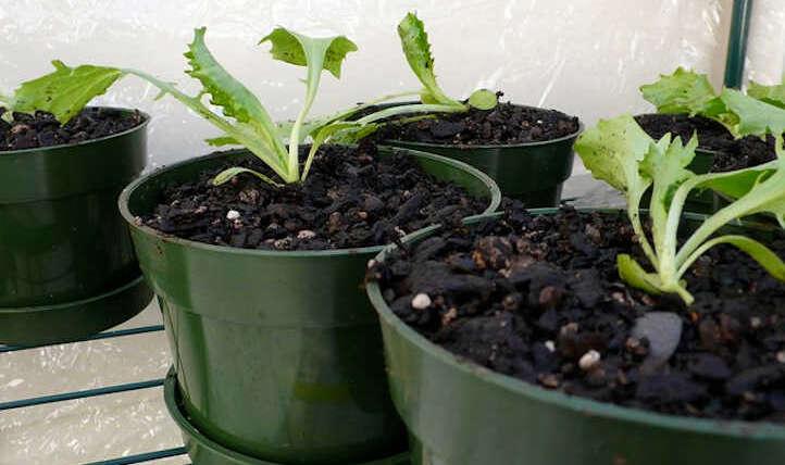 Develop lettuce indoors for salad success