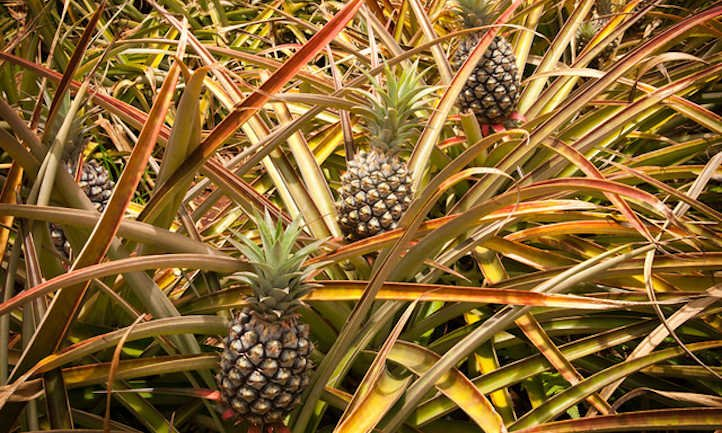 How To Develop A Pineapple: Three Strategies To Use