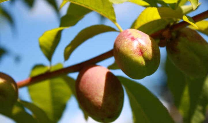 Nectarine tree: candy, clean summer season fruit