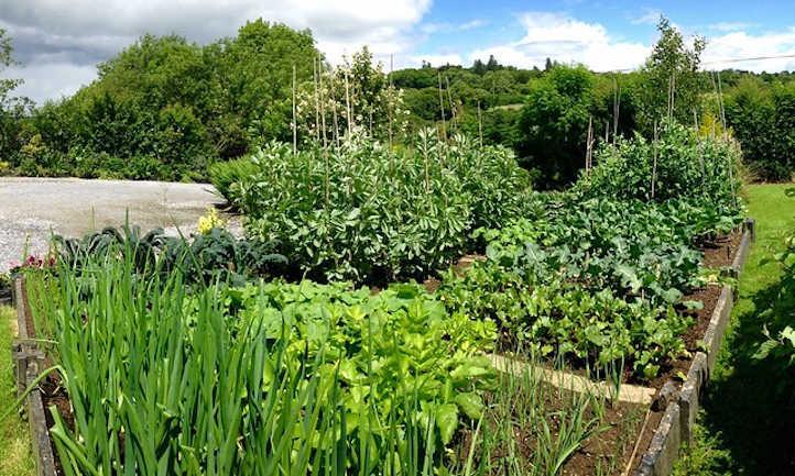 Onion Companion Crops: Allium Allies