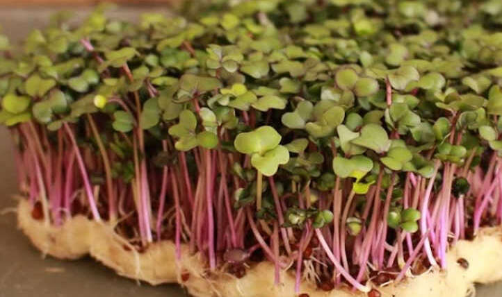 Find out how to Develop Kohlrabi Microgreens Shortly and Simply