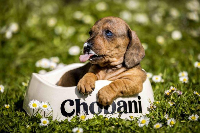 Chobanis yogurt for canine