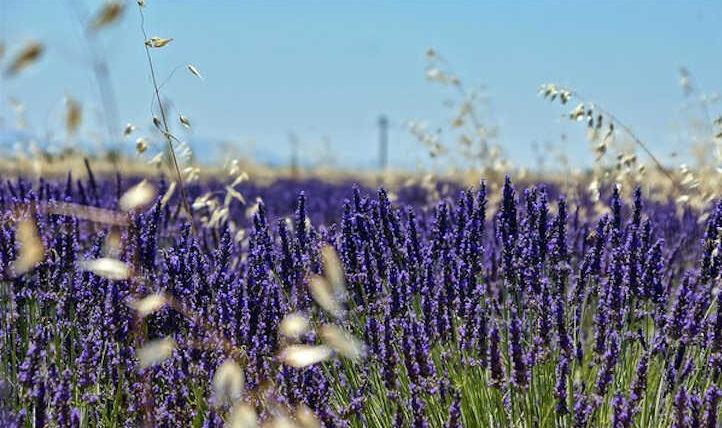 Rising lavender: stunning fragrant flowers