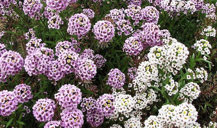 Alyssum: Rising the colourful carpet flower