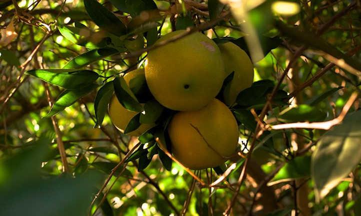 Navel orange tree care: Candy orange fruit