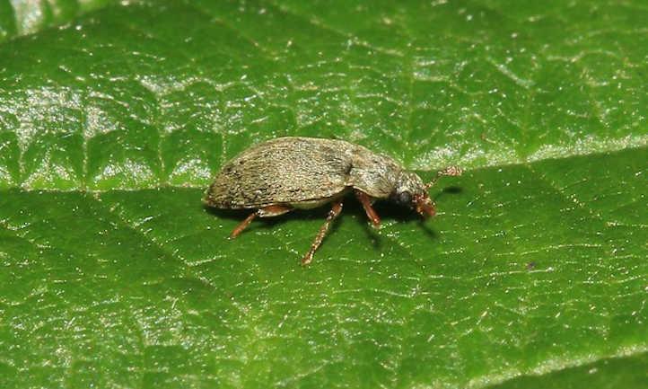 Raspberry Beetle: Harmful berry pest