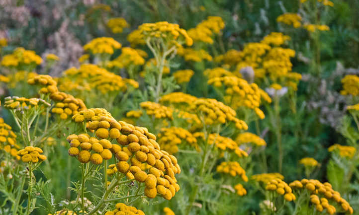Tansy Plant: Why You Will Love These Flowers