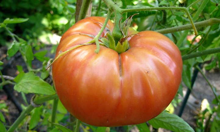 Tomato Companion Vegetation: Confirmed and True Teammates