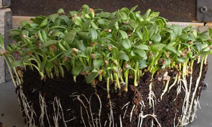 The way to Develop Fenugreek Microgreens Rapidly and Simply