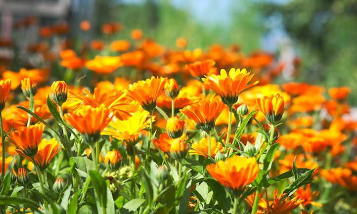 Rising Calendula: Vigorous, sensible edible flowers