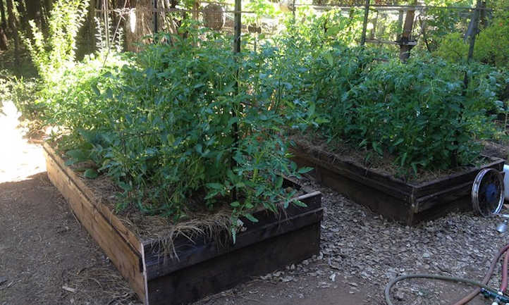 Rising tomatoes in raised beds: getting began
