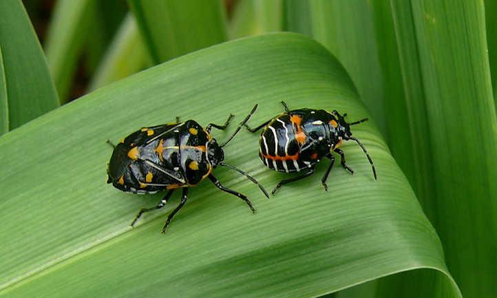 Harlequin Bug: A fairly Brassica plague