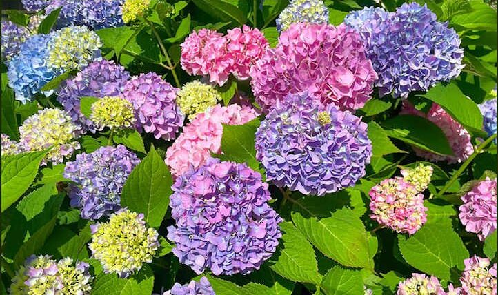 The best way to develop hydrangeas from begin to end