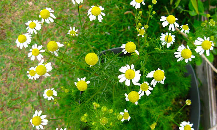 How one can harvest chamomile for teas