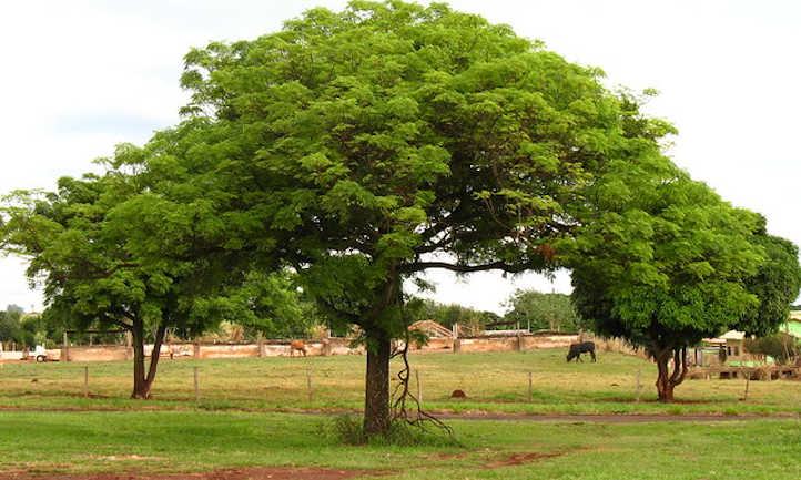 Mango Tree Care: Rising Tropical Treats