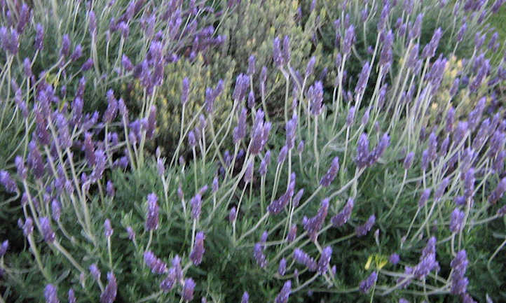 Propagating Lavender: Three Strategies To Use